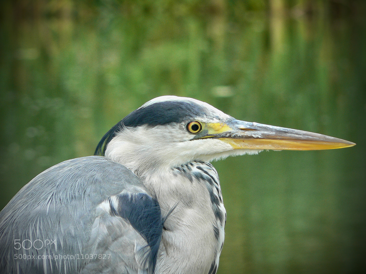 Photograph Grey Heron by Stuart  Lussi on 500px