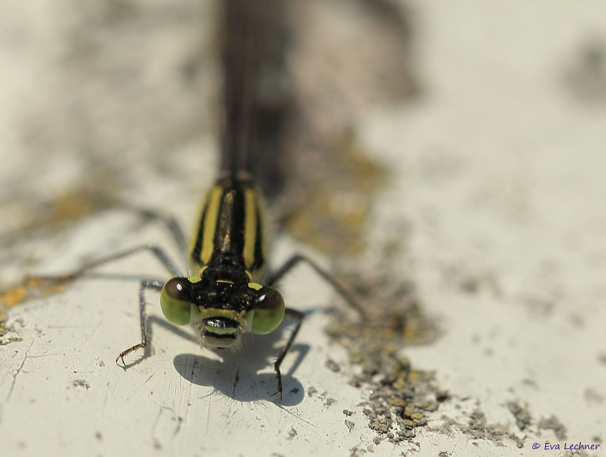 Photograph Dragonfly on a rock by Eva Lechner on 500px