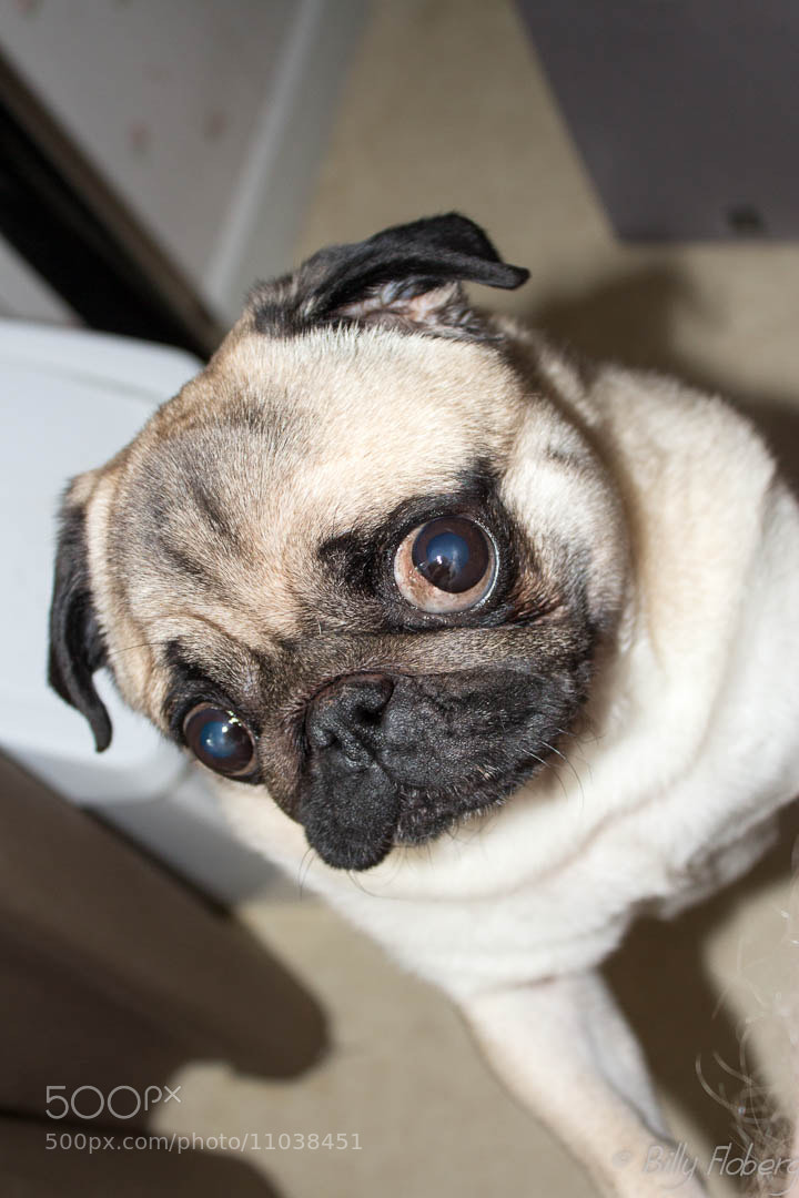 Photograph Curious Pug by Billy Floberg on 500px