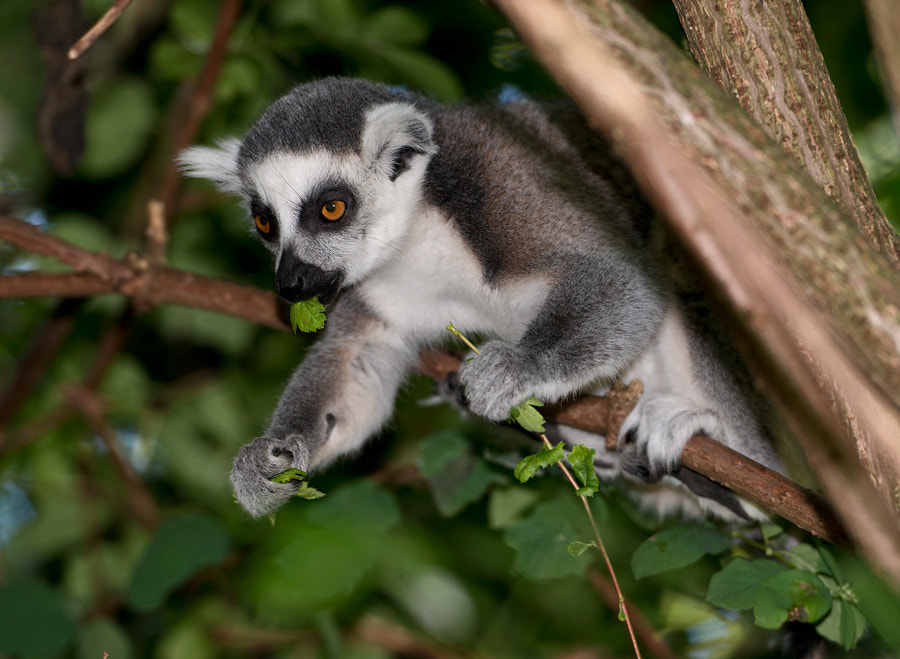 Photograph Ringtail Lemur by Henrik Vind on 500px