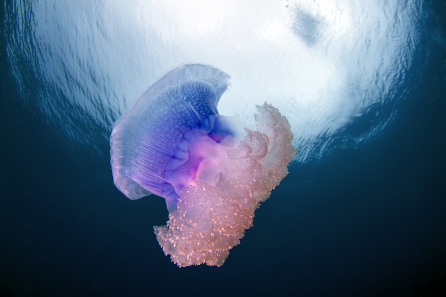Photograph Crown Jellyfish - Netrostoma setouchina in Fiji by Sascha Janson on 500px