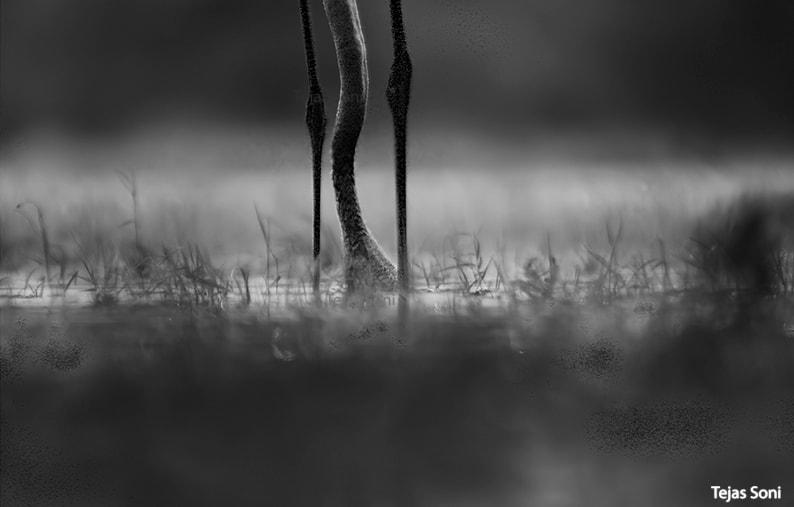Photograph Greater flamingo _thol lake by Tejas Soni on 500px