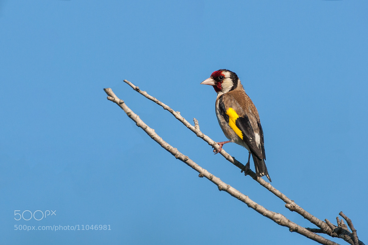 Photograph European Goldfinch by Laurent Staes on 500px