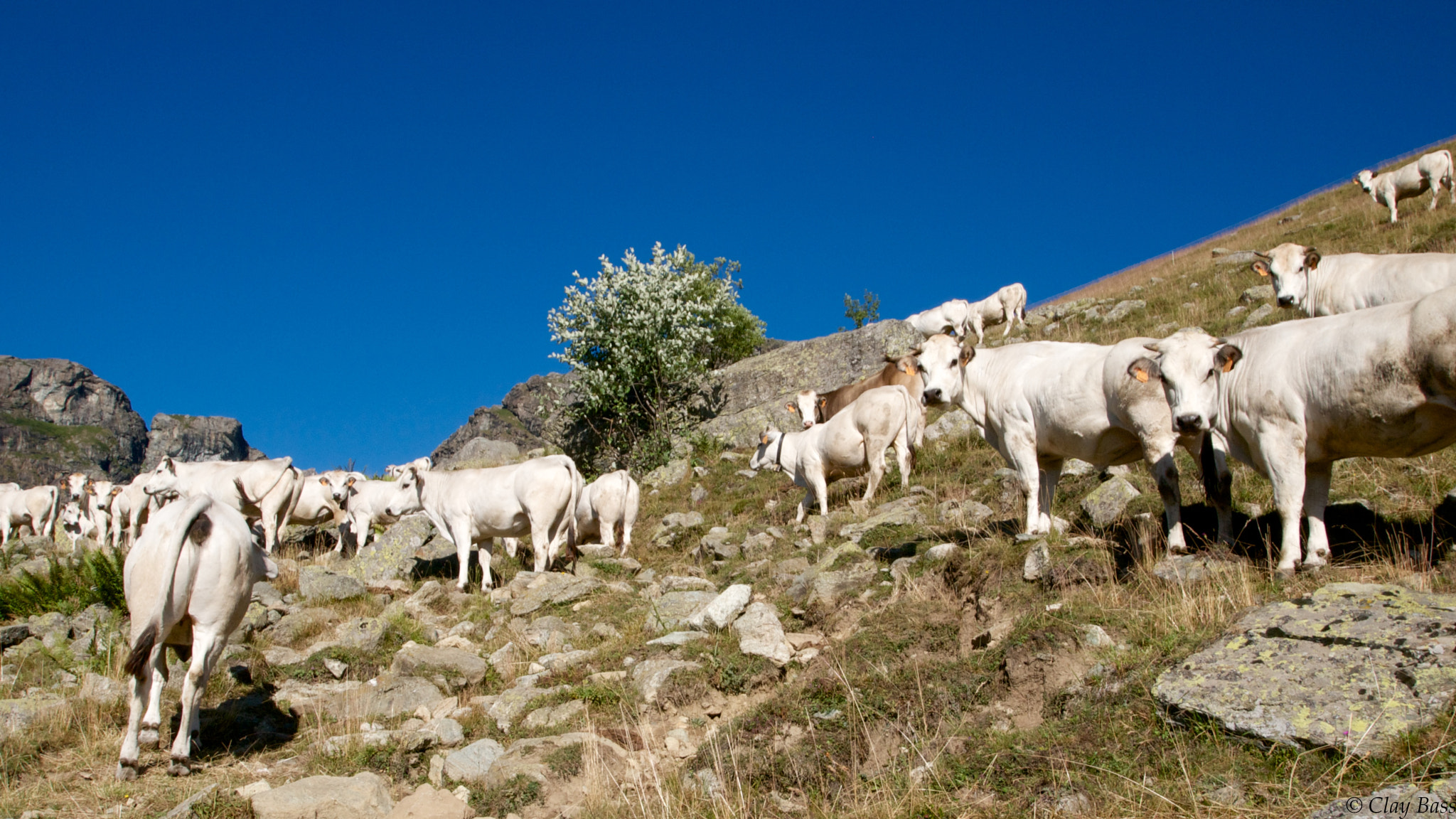 Photograph mountain cows by Clay Bass on 500px