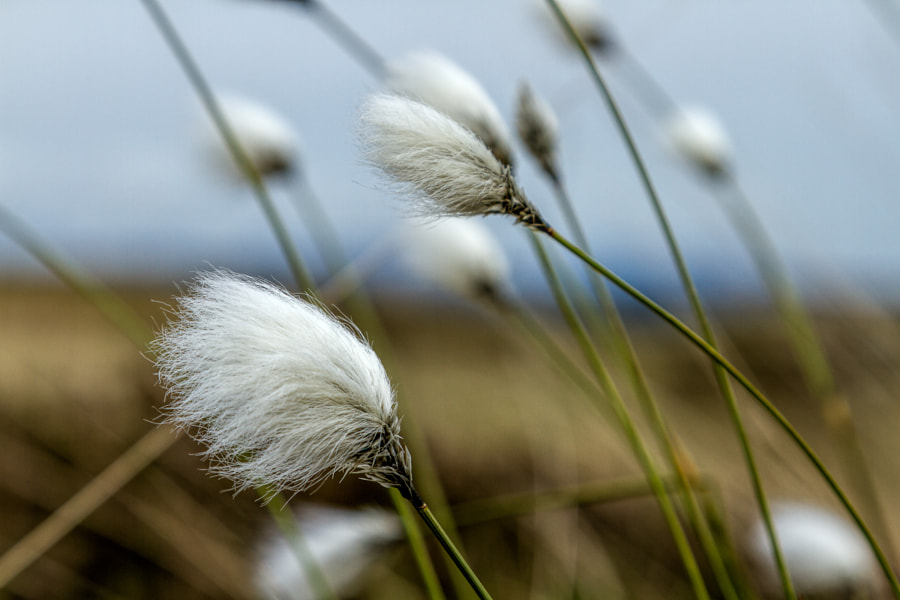 Cotton grass by James Macnab