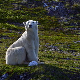 Tundra Bear by Tony Beck (TonyBeck)) on 500px.com