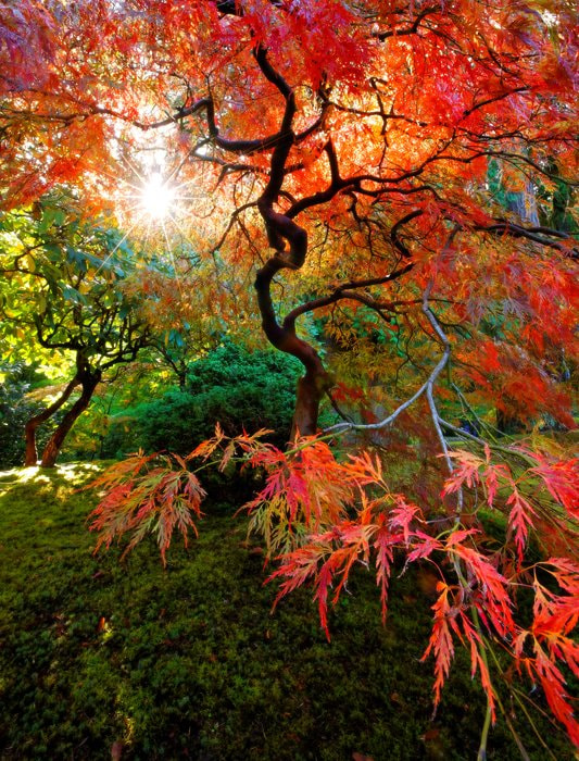 Photograph Japanese Maple by Gabe Farnsworth on 500px