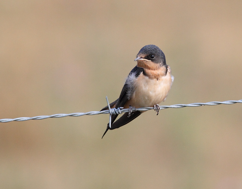 Photograph young barn swallow by H Singh on 500px