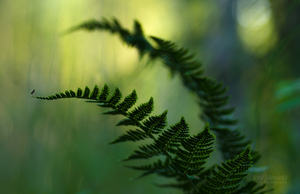 Photograph Ferns And Mosquito by Joni Niemelä on 500px