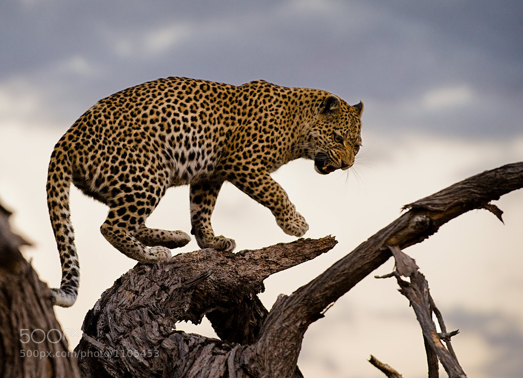 Photograph Leopard At Dusk by Chuck Babbitt on 500px
