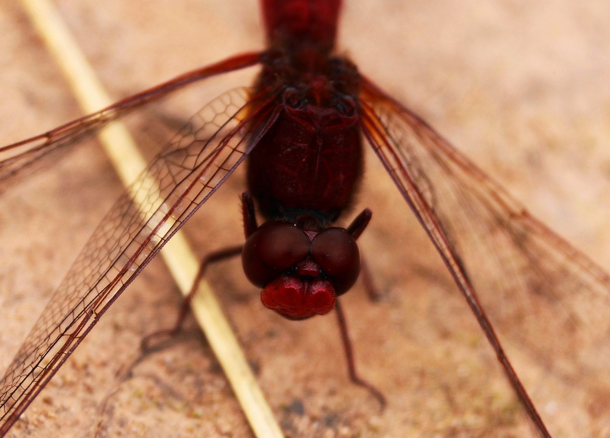 Photograph Red Dragonfly by Ralf Bessoth on 500px