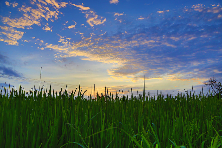Photograph the rice field by Prachit Punyapor on 500px