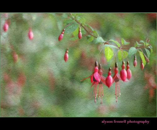 Photograph Evening Fuchsia by Alyson Fennell on 500px