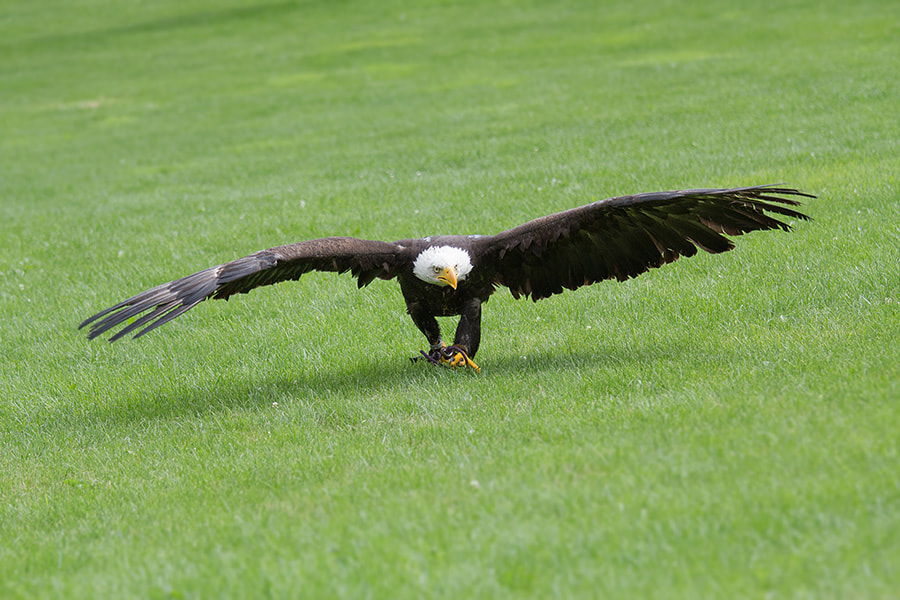 Photograph bald eagle by Wolfgang Voigt on 500px