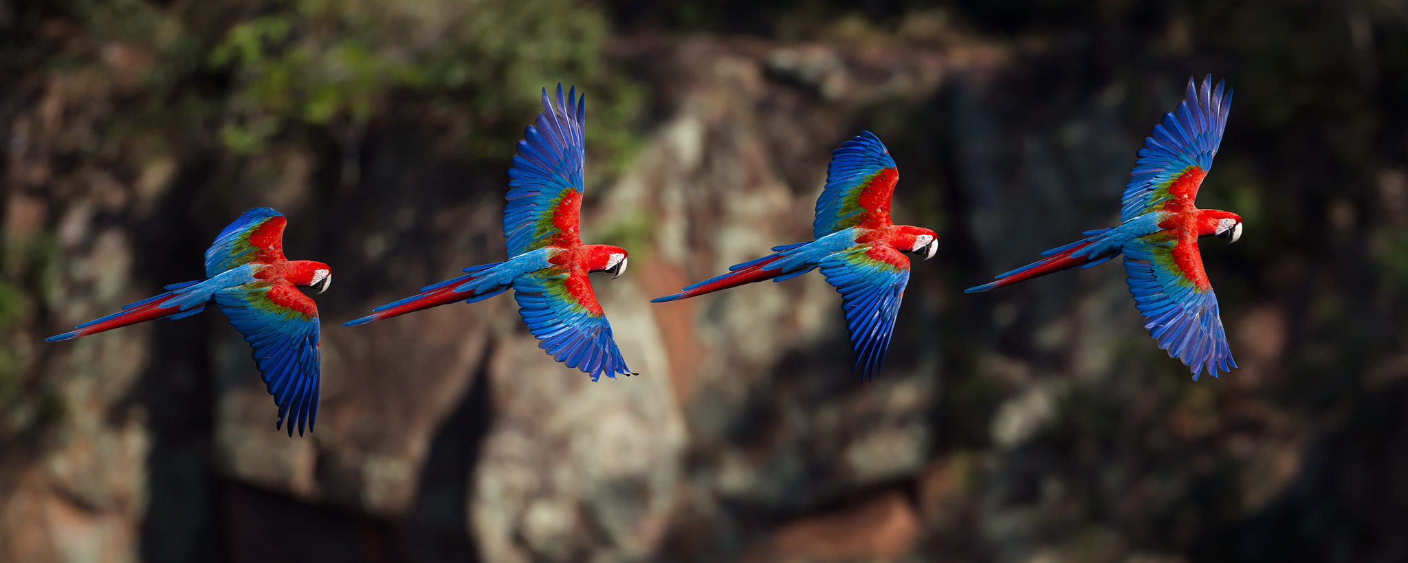 Photograph Red-and-green macaw by Patrick Meier on 500px