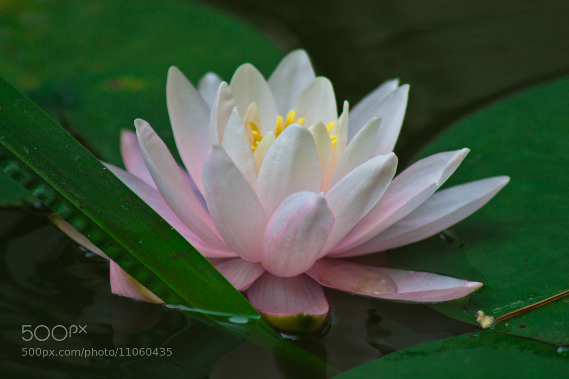 Photograph Water lily by Jan Hasenbichler on 500px