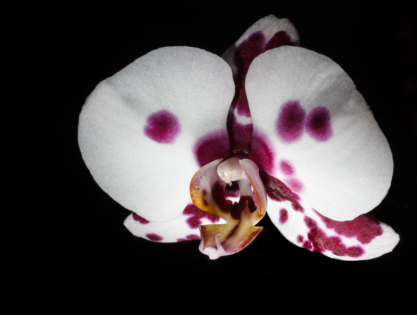 Photograph Phalaenopsis by dana m on 500px