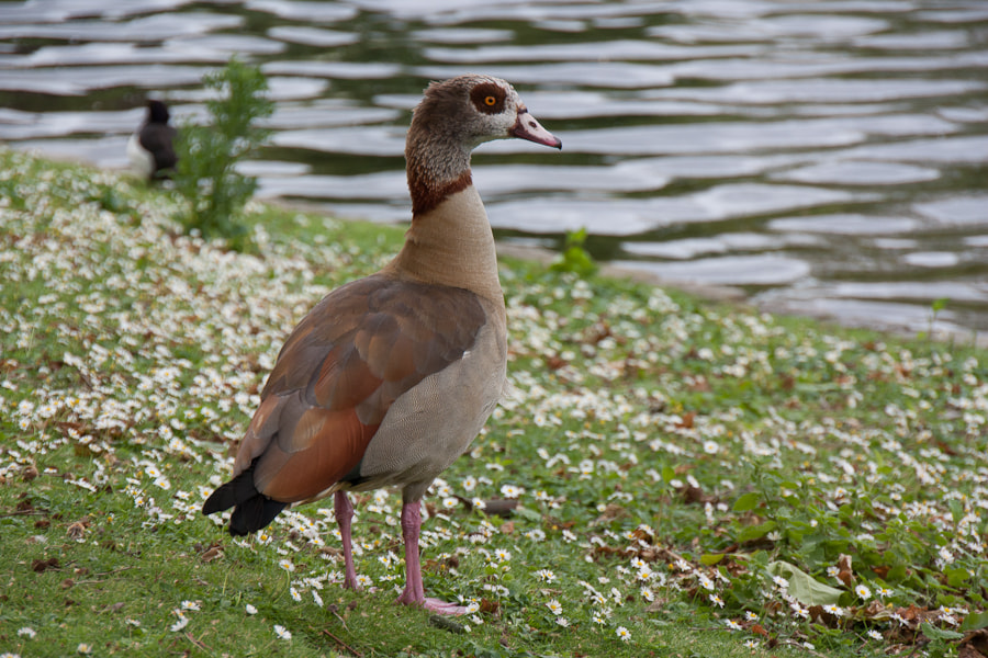 Photograph Egyptian Goose by Bjørn-Gunnar Lunde on 500px