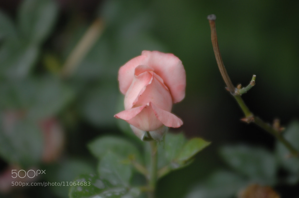 Photograph Rose button by Victorya Smirnova on 500px