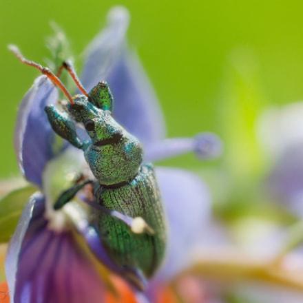 Phyllobius maculicornis