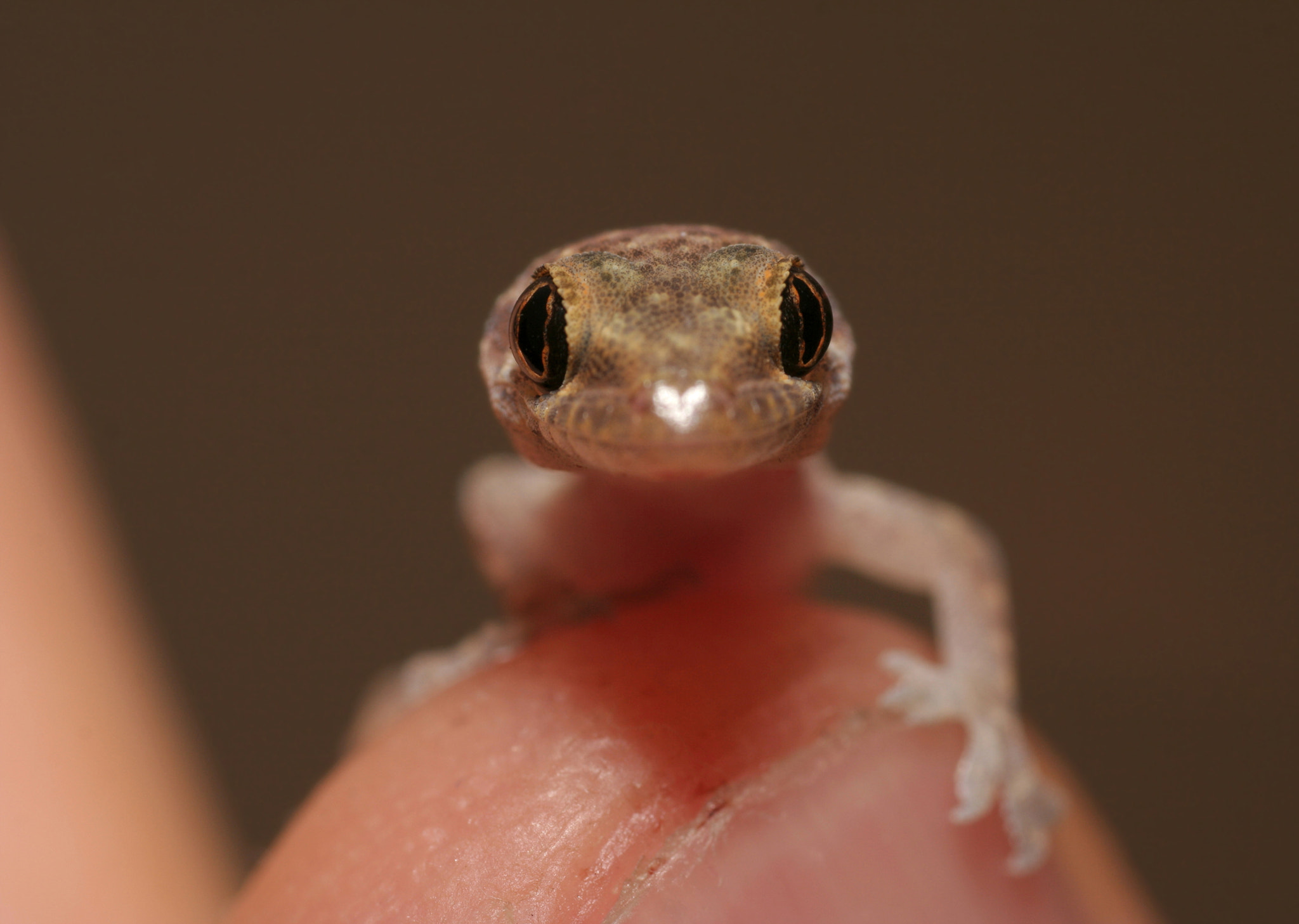 Photograph Baby Gecko by Justin Sneddon on 500px