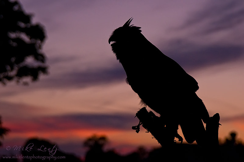 Photograph Great Horned Owl silhouette by Mike  Lentz on 500px
