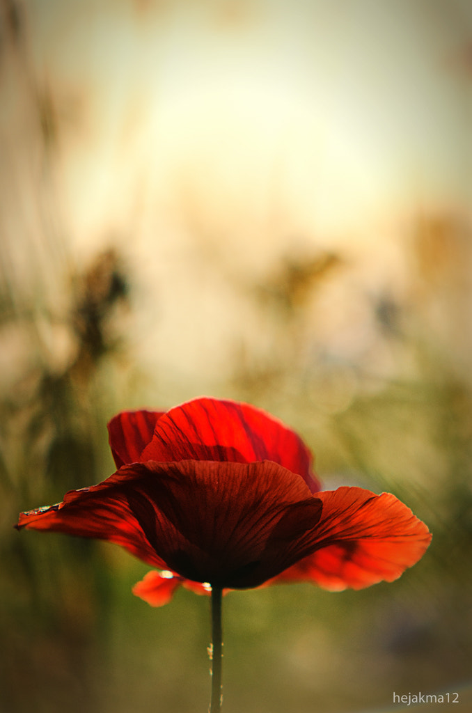 Photograph Retro Poppy by hejakma  . on 500px