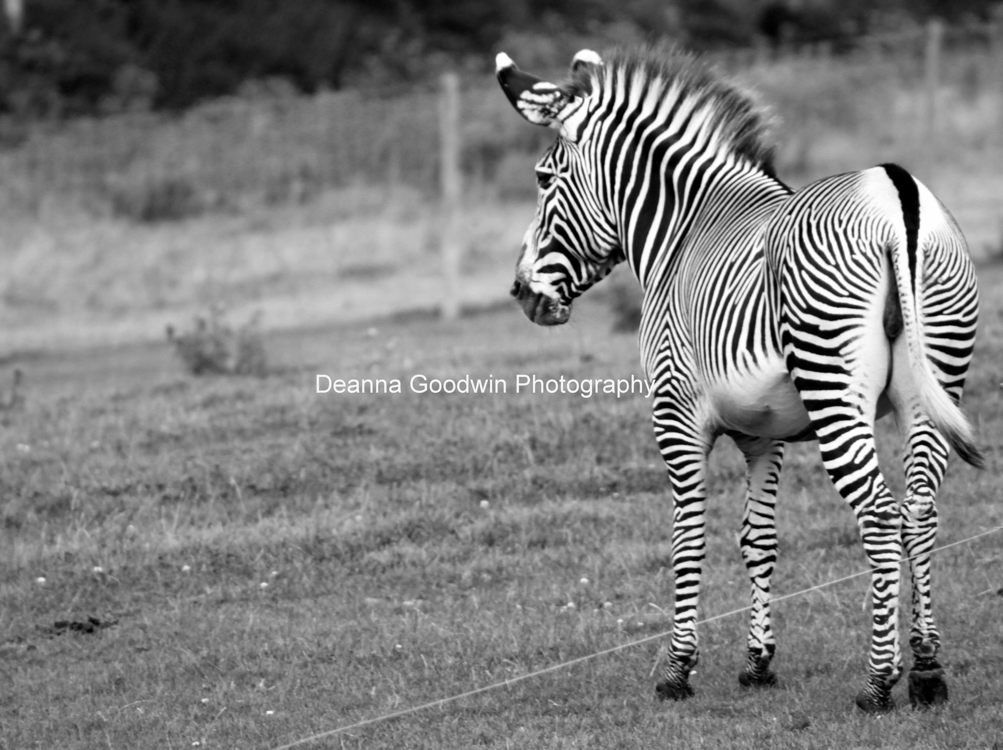 Photograph Zebra by Deanna Goodwin on 500px