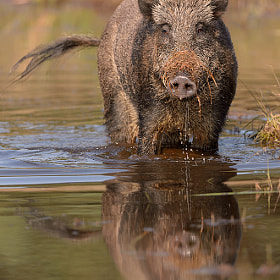Wild Boar by Edwin Kats (EdwinKats)) on 500px.com