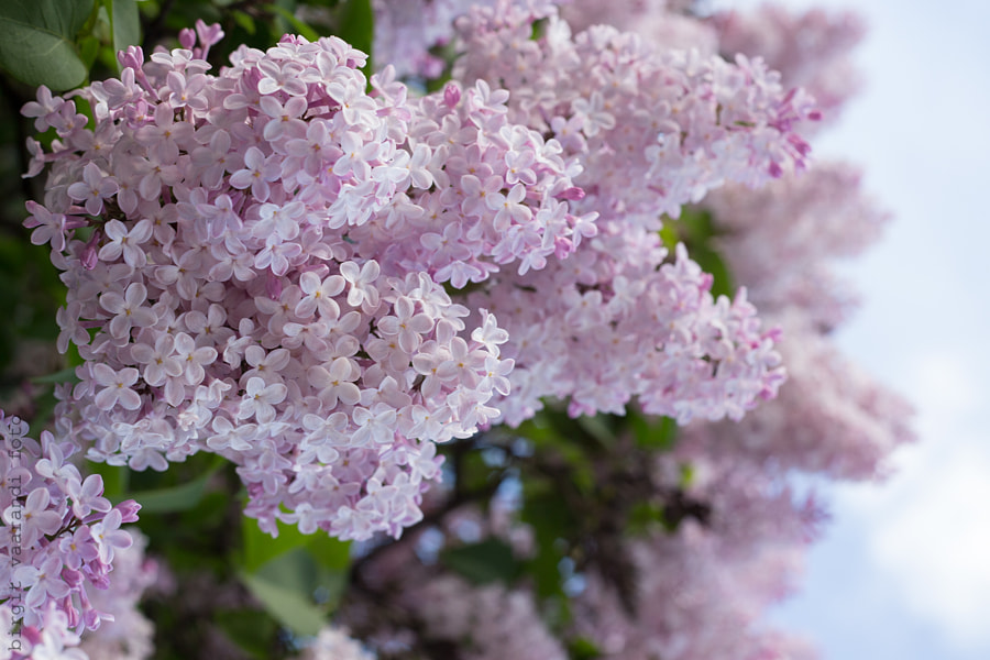 Time of lilacs by Birgit 1974 on 500px.com