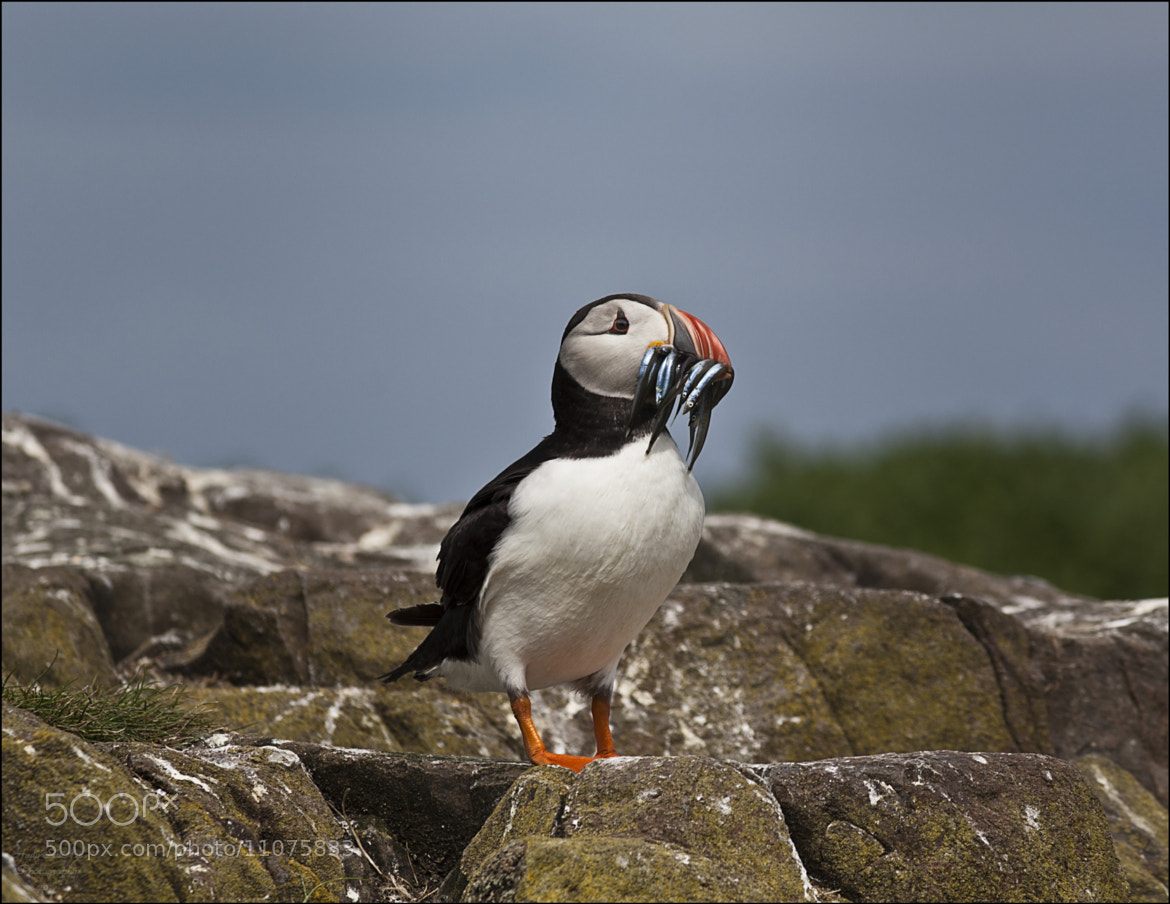 Photograph Puffin by Andy Stuart on 500px