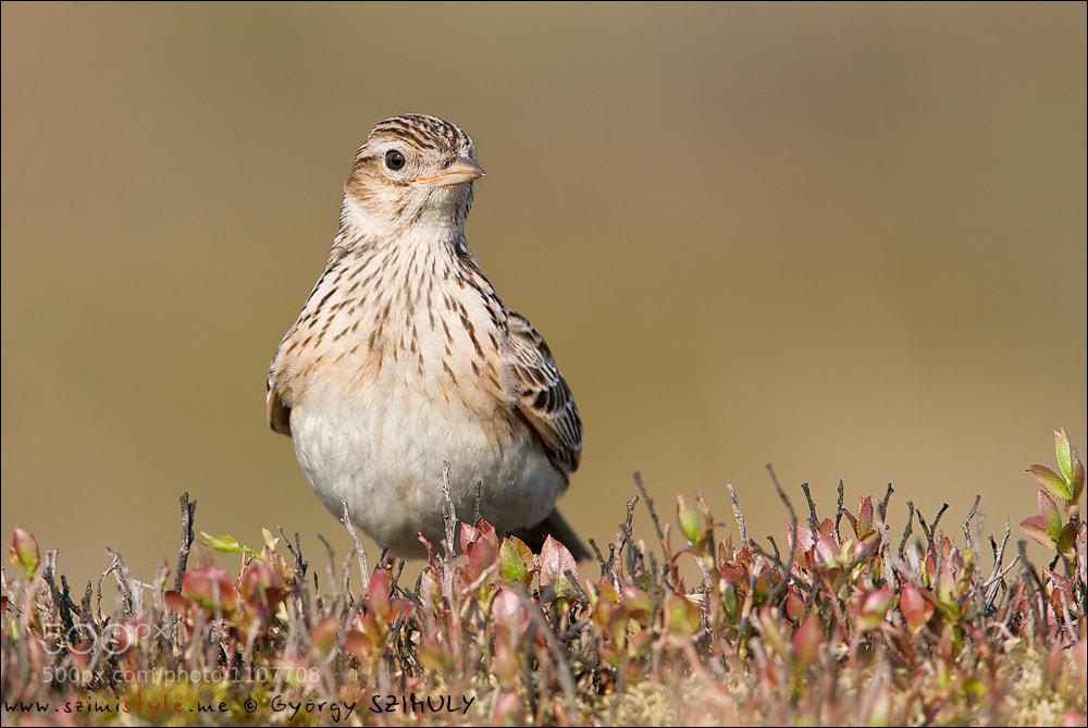 Photograph Eurasian Skylark (Alauda arvensis) by Gyorgy Szimuly on 500px