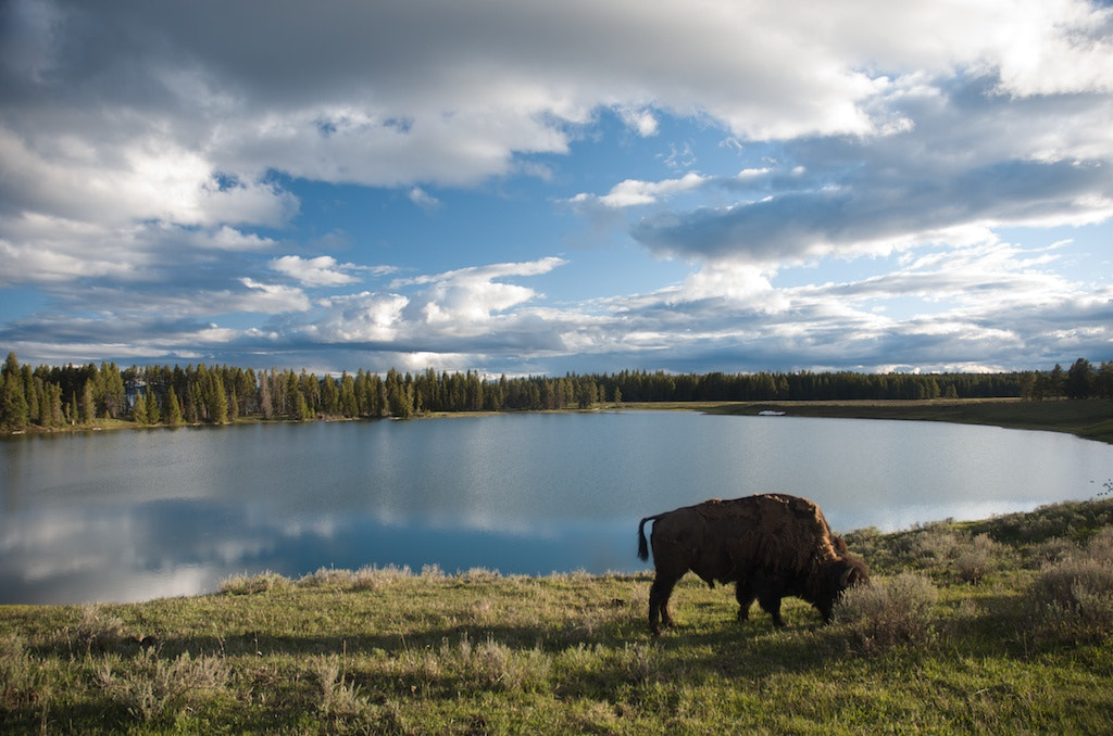 Photograph Lakeside Bison by Bill Dreitlein on 500px