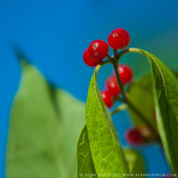 Photograph Berry Berry Good by Ryan Heffron on 500px