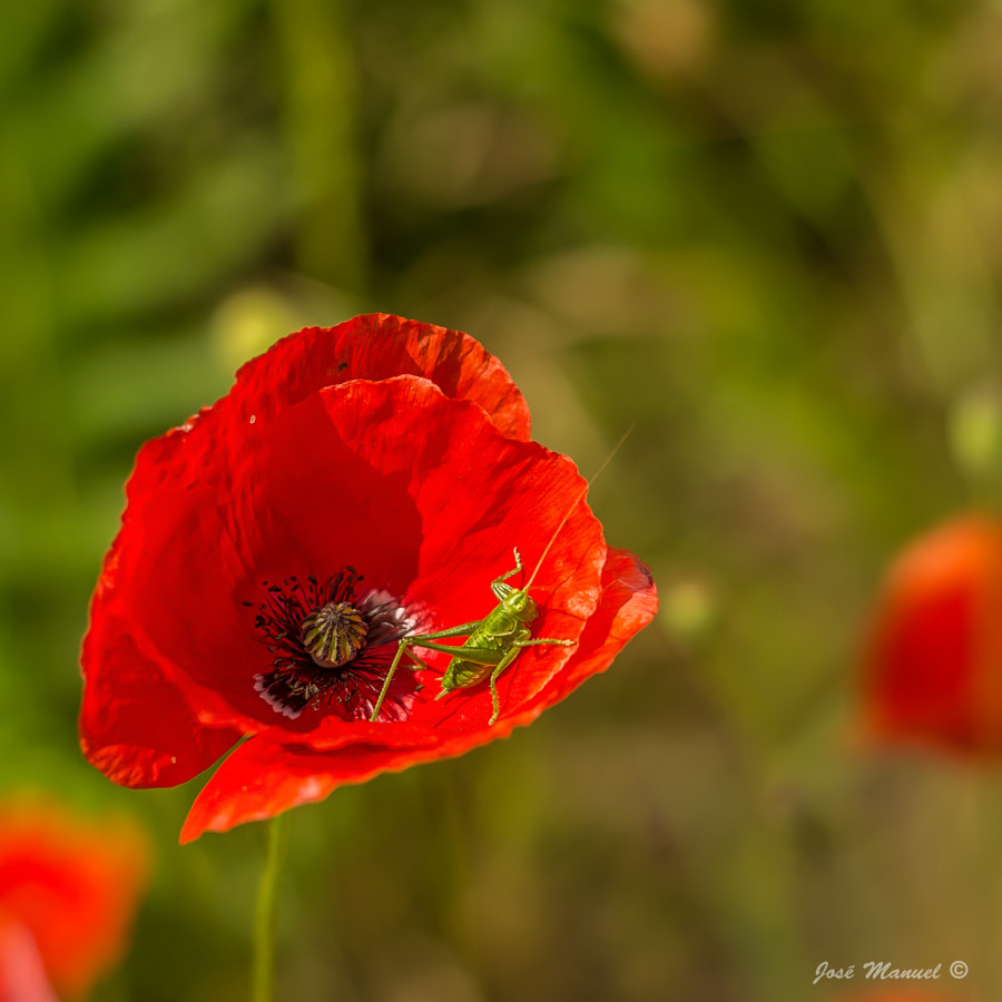 Photograph Poppy and Grasshopper by José Manuel González Iglesias on 500px