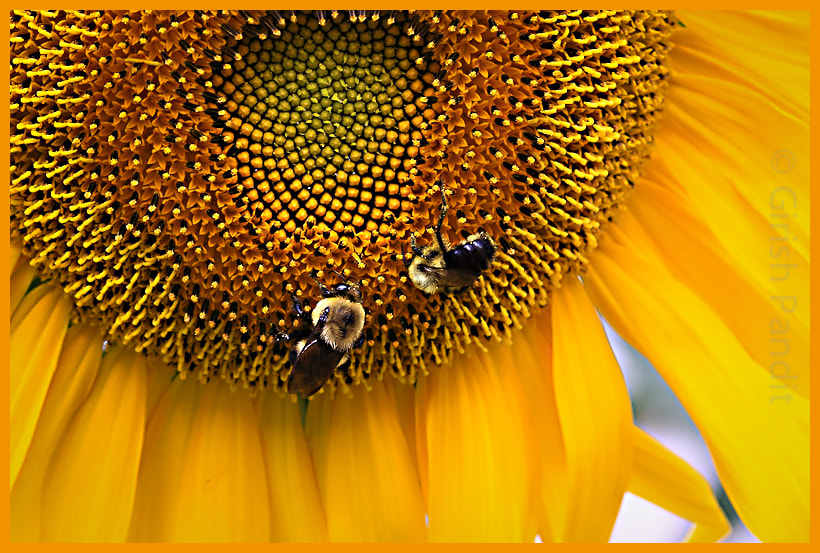 Photograph Sunflower and Bees, friends forever! by Girish Pandit on 500px