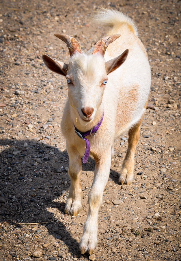 I never gave much thought to goats being particularly cute--until I met Buck who followed me around and wanted to be my friend. This 6-month-old little guy is one cute kid.