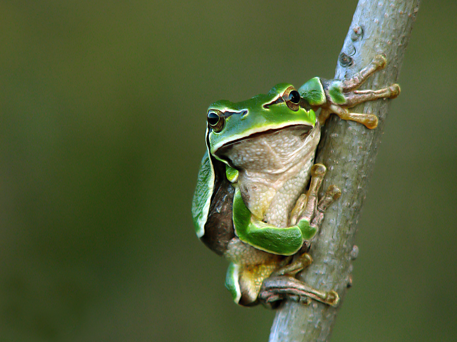 Photograph Hyla arborea by Minghir Victor on 500px