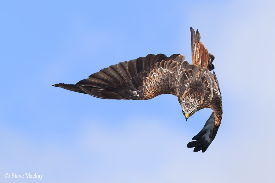 Photograph Red Kite by Steve Mackay on 500px