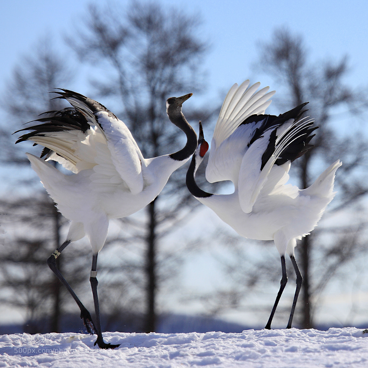 Photograph Courtship dance(Red-crownd crane) by yume . on 500px