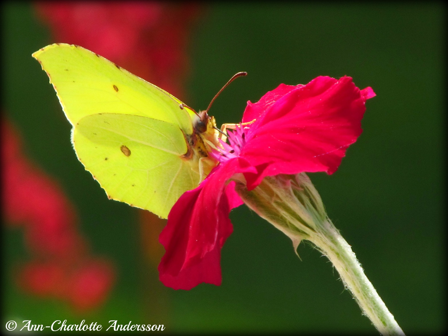 Photograph Brimstone by Ann-Charlotte Andersson on 500px