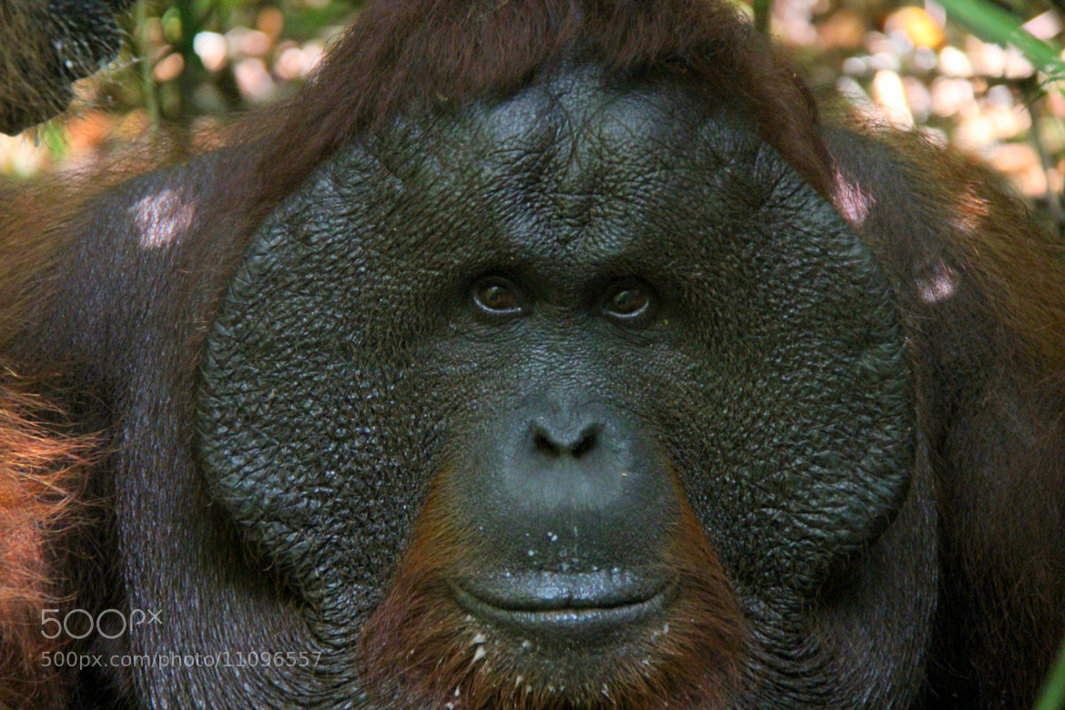 Photograph Orangutan by Carlos Luque on 500px