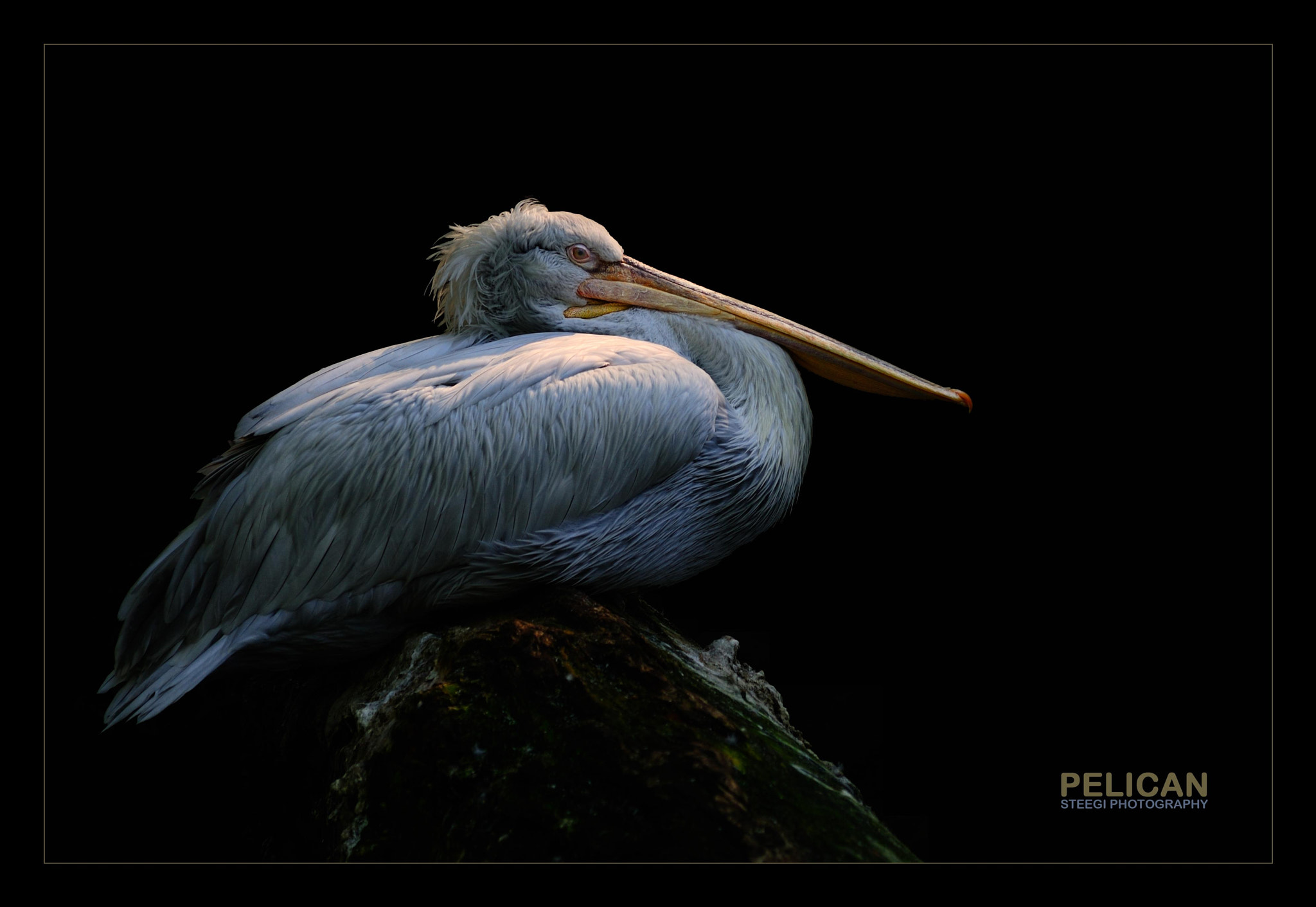 Photograph Pelican by Andreas Steegmann on 500px
