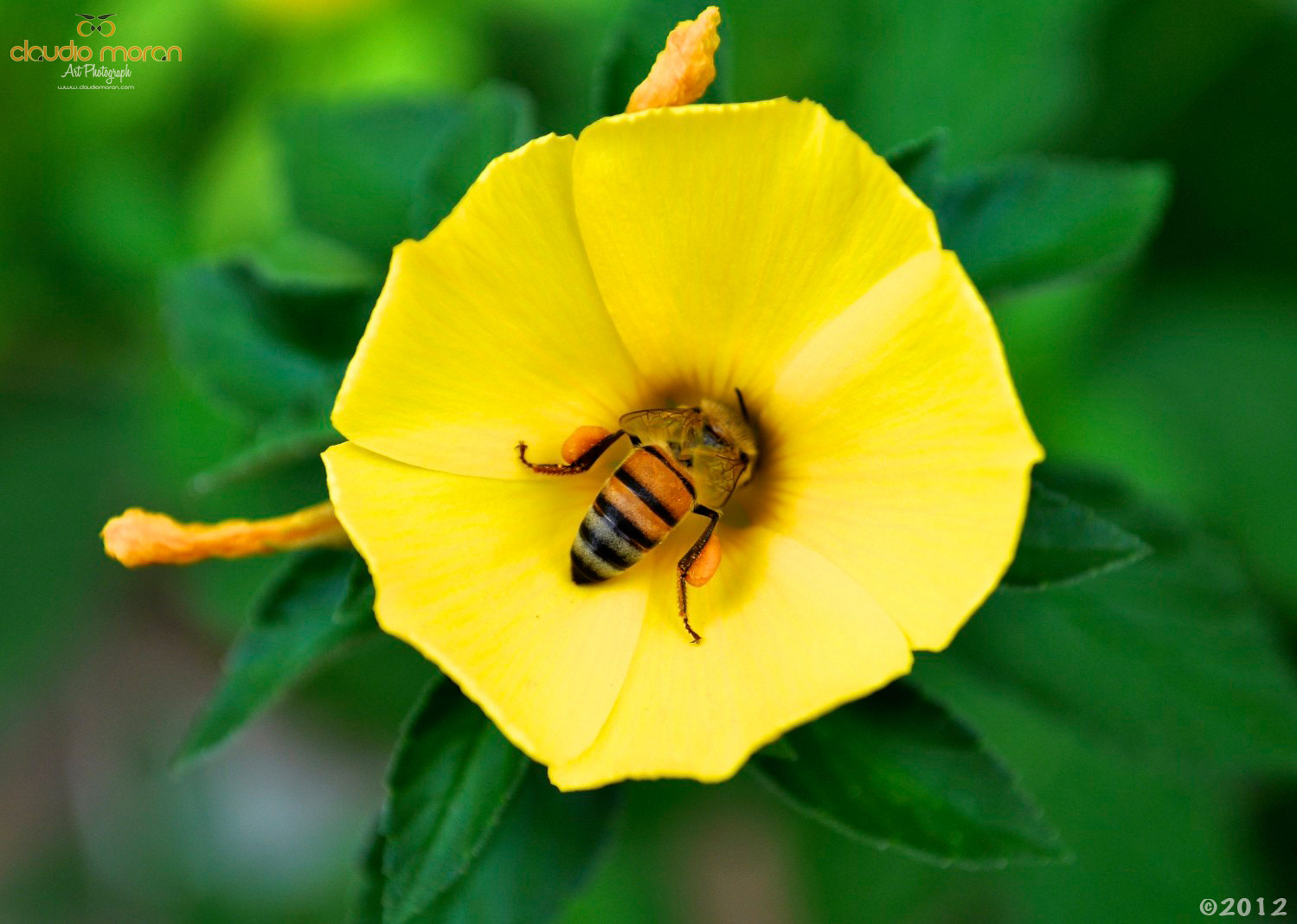 Photograph Honey Bee! by Claudio Morán on 500px