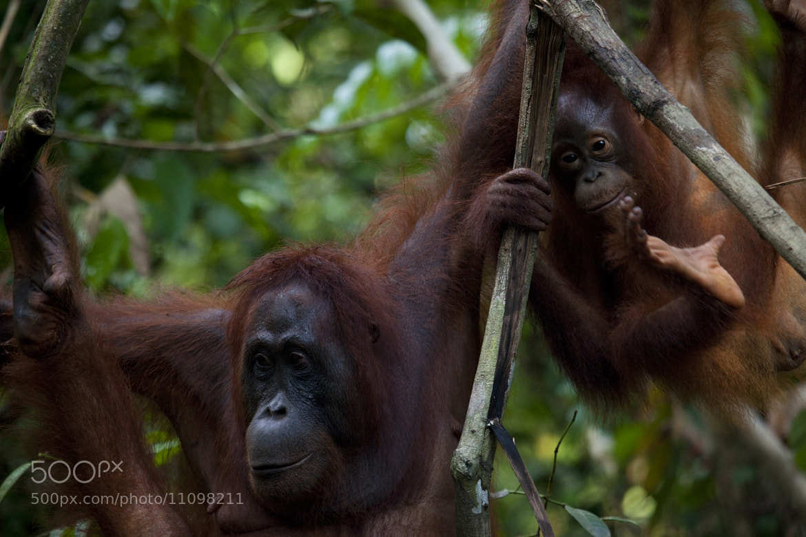 Photograph Orangutan Mother and Baby by Scott Portelli on 500px