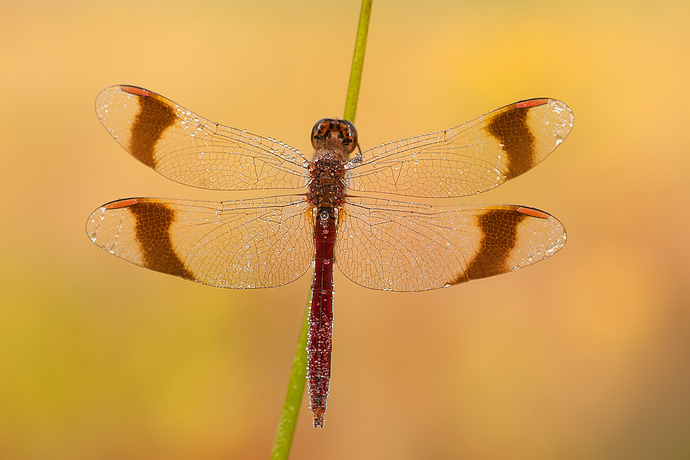 Photograph Banded darter by Tom  Kruissink on 500px