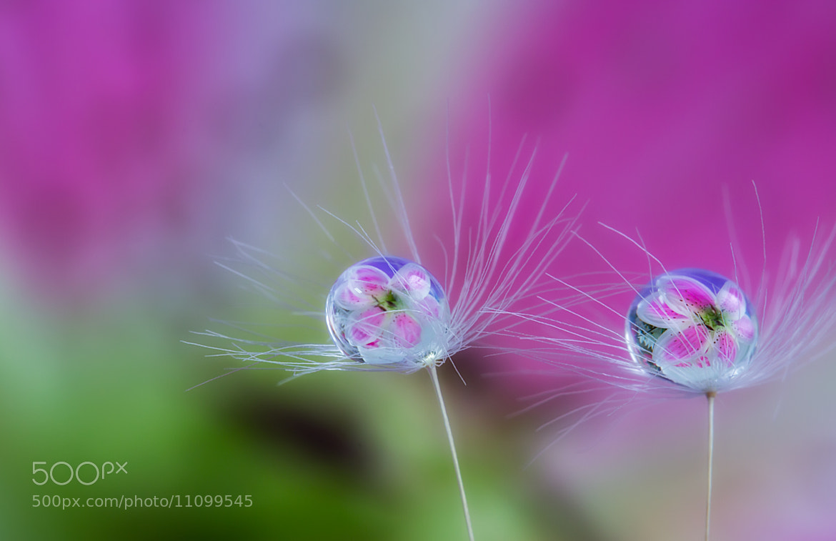 Photograph Drops on the dandelion seeds by Miki Asai on 500px