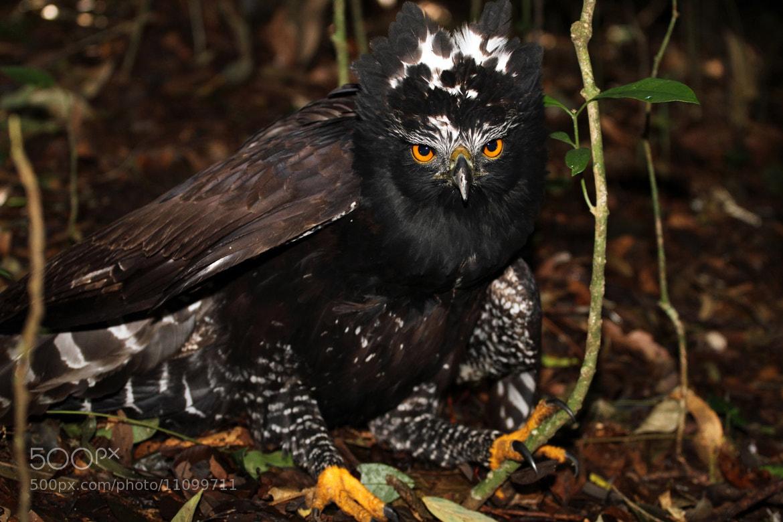Photograph Black Hawk-Eagle .... by Itamar Campos on 500px