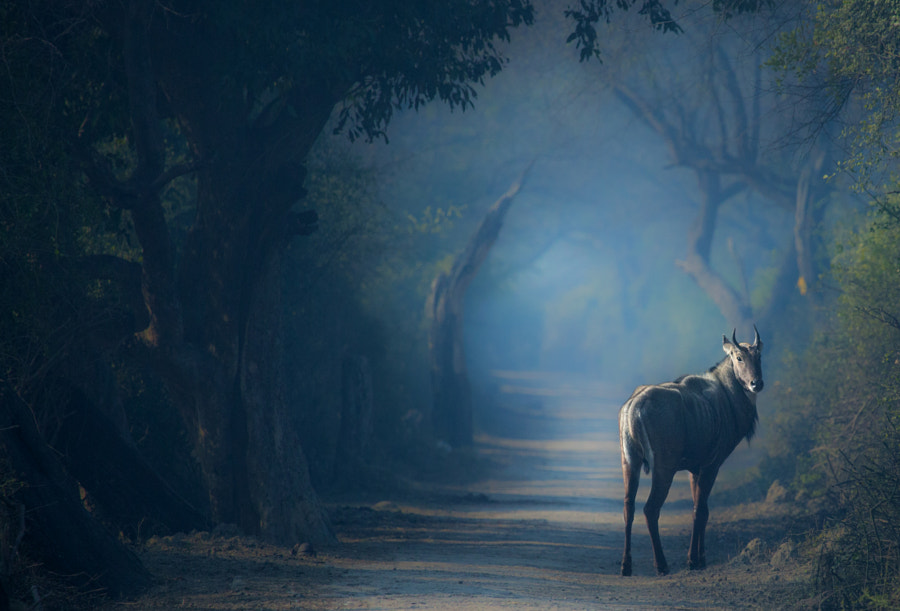 BlueBull Male by Sunny Oberoi on 500px.com