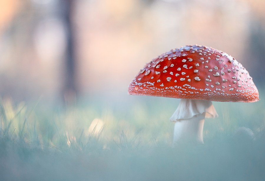 Amanita muscaria by Georgi Georgiev on 500px.com